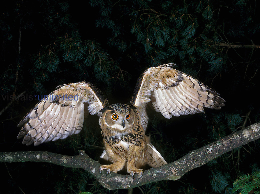 European Eagle Owl (Bubo bubo) on branch taking off, France