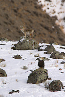 The calls a coyote (Canis latrans) makes are high-pitched and variously described as howls, yips, yelps, and barks. These calls may be a long rising and falling note (a howl) or a series of short notes (yips). These calls are most often heard at dusk or night, but may sometimes be heard in the day, even in the middle of the day. Although these calls are made throughout the year, they are most common during the spring mating season and in the fall when the pups leave their families to establish new territories. When a coyote calls its pack together, it howls at one high note. When the pack is together, it howls higher and higher, and then they yip and yelp and also do a yi-yi sound, very shrill, with the howl.  Mammoth area, Yellowstone.
