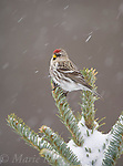 Common Redpoll (Carduelis flammea), female perched in snow-covered conifer during snowstorm, New York, USA