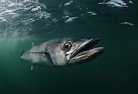 king mackerel, kingfish