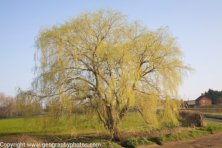 Willow tree in early spring leaf, Marlesford, Suffolk, England