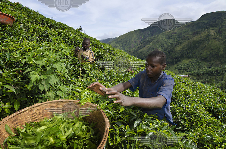 Three young boys picking tea on a hillside plantation in the Mabayi Commune in Ruhororo Colline.
