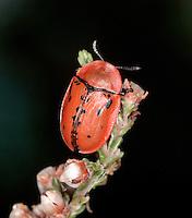 Fleabane Tortoise Beetle - Cassida murraea