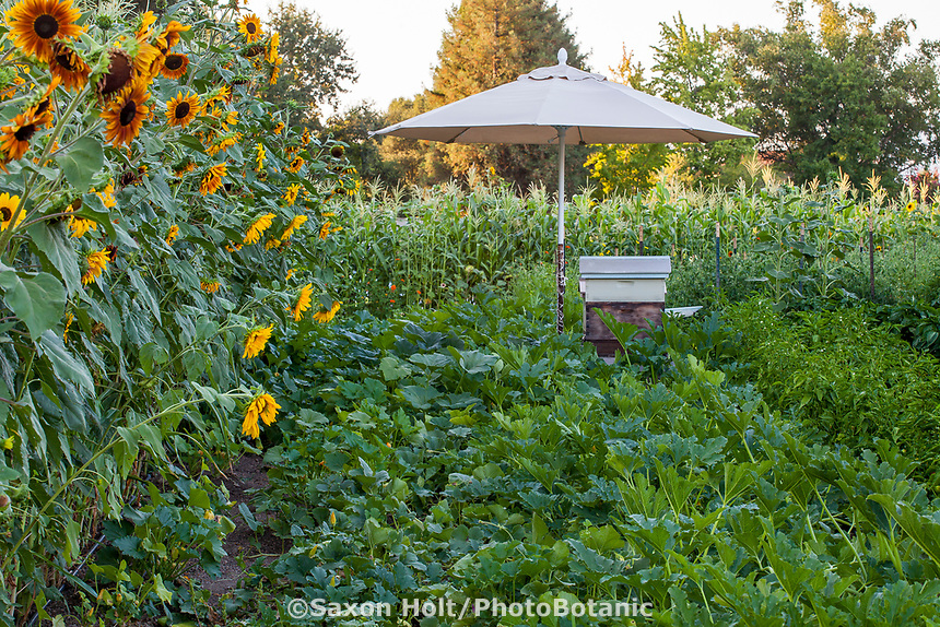 Sunflowers and corn bordering the vegetable Community Garden of Healdsburg Senior Living Center, California