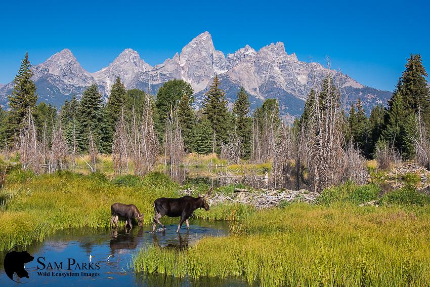 Cow and calf moose at beaver pond. Grand Teton National Park, Wyoming.