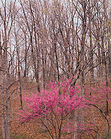Redbud tree in flower; Ramsey Lake State Park, IL