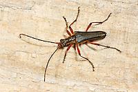 Variabler Stubbenbock, Stenocorus meridianus, Variable longhorn, Variable Longhorn Beetle