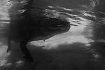 American alligator (Alligator mississippiensis), Everglades Outpost. Nuissance alligators in protective pens, Homestead FL