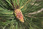 Pine cone growing on Scots pine tree   Suffolk, England, UK