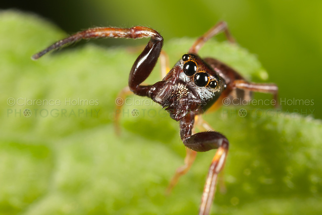 Hammerjawed Jumper (Zygoballus rufipes) - Male,  Ward Pound Ridge Reservation, Cross River, Westchester County, New York
