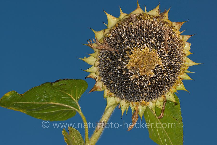 Gewöhnliche Sonnenblume, Sonnenblumen-Kerne, unreife und reife Kerne, Sonnenblumenkerne in einem Blütenstand, Samen der Gewöhnlichen Sonnenblume, Helianthus annuus, Common Sunflower