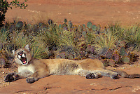 COUGAR/MOUNTAIN LION/PUMA..Near Canyonlands National Park, Utah. Autumn. (Felis concolor).