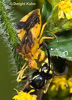 AM02-504z  Ambush Bug female, feeding on Sandhills Hornet prey with long sharp beak,  Phymata americana