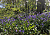 Carpets of Bluebells in Woodland - 16.04.2020