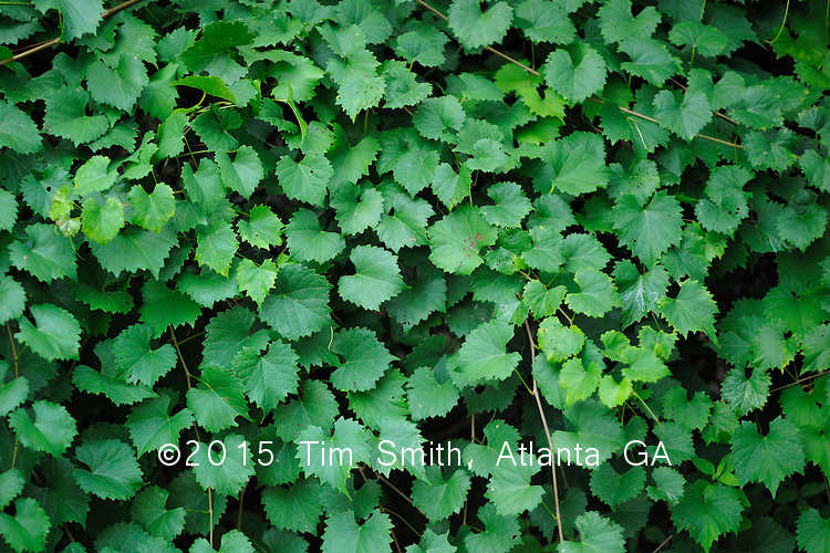 July 20, 2008  Atlanta Ga..Vines and leaves of the grape variety 'scuppernong' (Vitis rotundifolia), a bronze or green colored variety of muscadines.  Popular throughout the South Eastern United States, this is a sweet variety with tough, thick skin and viscous pulp...grape, scuppernong, white, Vitis rotundifolia, muscadine, leaves, vines, fruit, wine, jam, jelly, juices, Scuppernong River