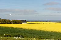 Rapsfelder bei Rutsker auf der Insel Bornholm, D&auml;nemark, Europa<br /> Rape fiels near Rutsker, Isle of Bornholm, Denmark
