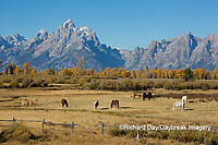 67545-09605 Horses and Grand Teton Mountain Range in fall, Grand Teton National Park, WY
