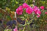Roses in the vineyard. Chateau Grand Corbin Despagne, Saint Emilion Bordeaux France