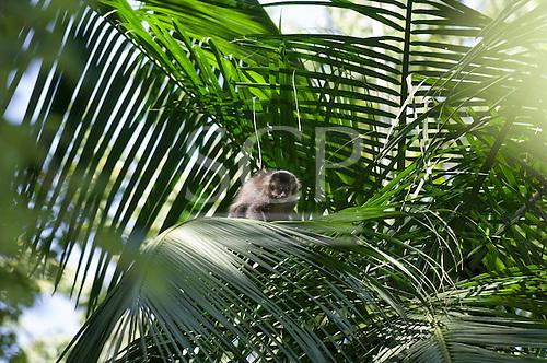Parana, Brazil. Mata Atlantica forest monkey looking into the camera from a palm tree.