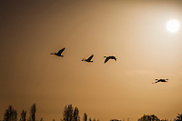Minutes before sunset, Canada geese fly by above a line of tree tops and below a late afternoon sun.
