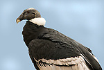 Andean Condor, Vultur gryphus, Peru, against blue sky background, captive, black and white, threatened. .South America....