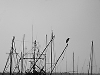 The geometry of moored fishing boat masts with a large bird, likely a Great Blue Heron,  perched at the top of one -  Pillar Point Harbor, California.