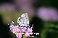 03224-00107 Ceraunus Blue butterfly (Hemiargus ceraunus) on Greg's Mistflower (Eupatorium gregii), Hidalgo Co.  TX