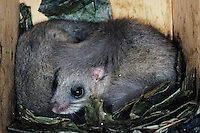Fat Dormouse, Glis glis, Pair sleeping in Bird Nest box, Oberaegeri, Switzerland, Europe