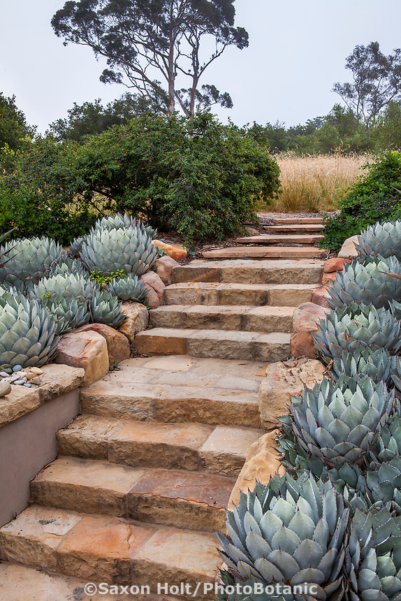 Stone step path between succulent border in summer-dry garden Santa Barbara California