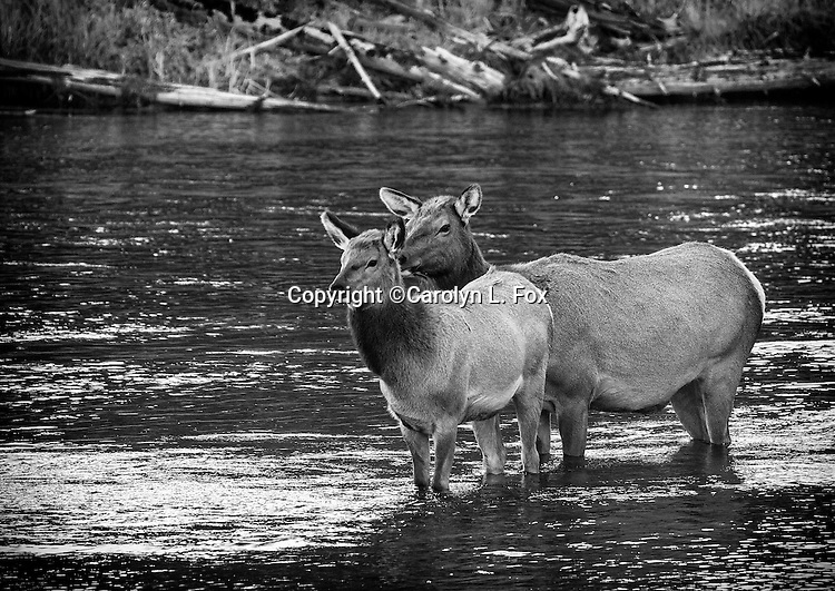 Two elk stand in the Mdison River in Yellowstone.