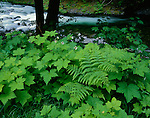 Olympic National Park, WA<br /> Forest under story of wood ferns and thimbleberry with the Sol Duc River flowing in the background