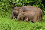 Borneo Pygmy Elephant (Elephas maximus borneensis) mother and calf grazing, Kinabatangan River, Sabah, Borneo, Malaysia