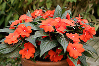 Impatiens or Busy Lizzie New Guinea group, variety 'Riviera Orange'
