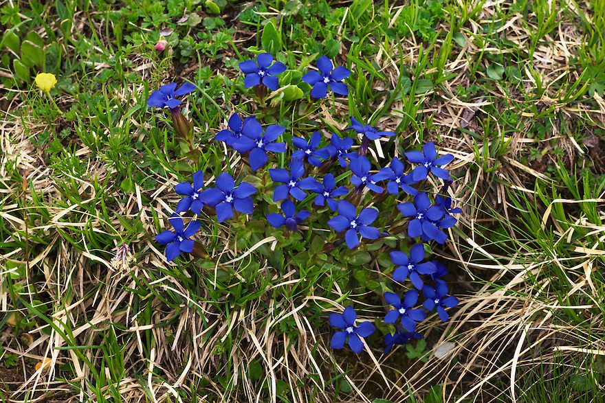 Gentian (gentiana verna)  - Europe, Italy, South Tyrol, Sexten Dolomites, Tre Cime - Afternoon - July 2009 - Mission Dolomites Tre Cime