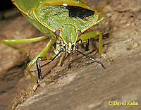 1007-06pp Green Stink Bug - Acrosternum hilare - © David Kuhn/Dwight Kuhn Photography.