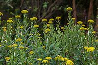 Bupleurum fruticosum, Shrubby Hare's Ear flowering shrub in Blake Garden