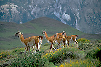 Female GUANACOS (Lama guanicoe) & babies in TORRES DEL PAINE NP with ANDES PEAK behind - PATAGONIA, CHILE