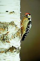 Kleinspecht, Männchen, Klein-Specht, Specht, Dryobates minor, Dendrocopos minor, Lesser Spotted Woodpecker, male, Pic épeichette