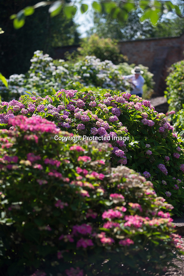 "20/06/16<br /> <br /> Tucked away in a hidden walled garden of an inner-city public park, the UK's largest hydrangea collection is putting on its best display ever, following the sudden heatwave after several months of rain.<br /> <br /> Full story:  <br /> <br /> https://fstoppressblog.wordpress.com/britains_biggest_hydrangea_garden/<br /> <br /> .And what used to be a flower traditionally associated with ""granny's cottage garden"" is blooming back into fashion thanks to the rising trend for all things shabby chic and retro-styled.<br /> <br /> There are more than 600 individual hydrangea bushes with a dozen or so different varieties, planted in Derby's Darley Abbey park, formerly part of an estate belonging to the nearby cotton mills.<br /> <br /> All Rights Reserved, F Stop Press Ltd. +44 (0)1773 550665"