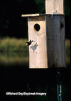 00715-05916  Wood Duck (Aix sponsa) duckling leaving nest box Marion Co.  IL
