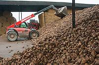 Harvesting sugar beet, Telford, Shropshire. December.