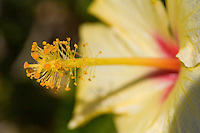 Close up of the stamen of a yellow hibiscus flower