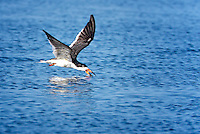 Black Skimmer, skimming along water surface with scisssorlike bill open