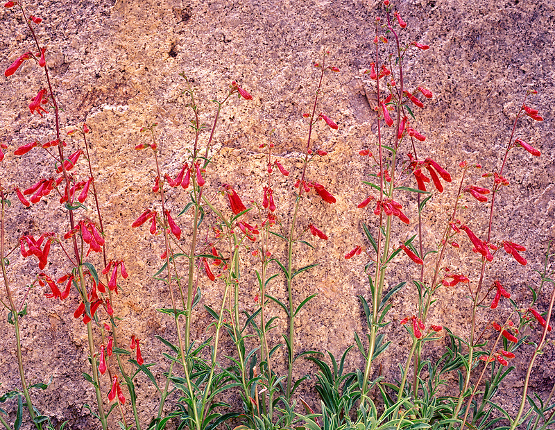 V00223M.tif   A variety of penstemon with granite. Inyo National Forest, California