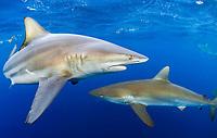 blacktip shark, Carcharhinus limbatus, and silky shark, Carcharhinus falciformis, Jupiter, Florida, USA, Atlantic Ocean