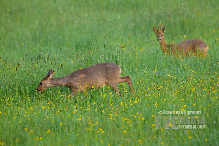 Roe Deer (Capreolus capreolus) molting in spring, losing it's winter coat. Feeding in a field with buttercup flowers. Spring. Gelderland, the Netherlands.