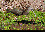 White-faced Ibis, Bosque del Apache Wildlife Refuge, New Mexico