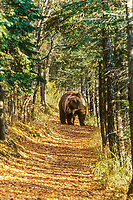 Coastal brown bear on footpath in Katmai National Park, Alaska, autumn.