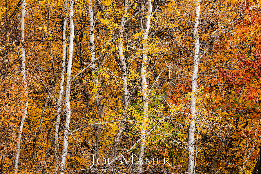 Yellow maple leaves with birch trees at the Minnesota Landscape Arboretum.