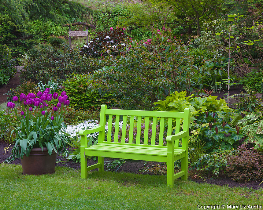 Vashon-Maury Island, WA: A chartreuse painted bench and pot of bright purple tulips on the edge of a spring perennial garden